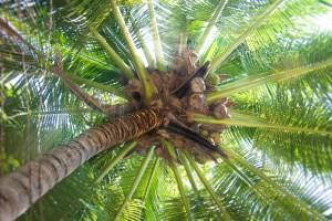 tratamiento fitosanitario en las palmeras