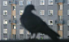 Gavilanes como nuevo método ahuyentador de palomas