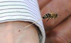 El instante único de la picadura de una abeja