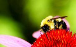 ¿Por qué la abeja muere cuando pierde el aguijón?