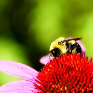 aguijón abeja