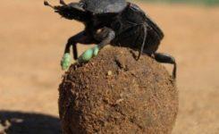 ¿Para qué usan las bolas los escarabajos peloteros?