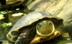 Las tortugas son portadoras de salmonella