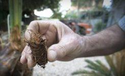La producción de palma blanca desciende un 15% como consecuencia del picudo rojo