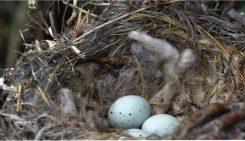 Las aves construyen sus nidos con colillas para repeler a los insectos