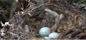 colillas pen los nido de pajaros