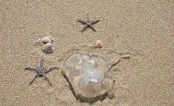 La FAO insta a comer medusas para paliar la plaga mediterránea