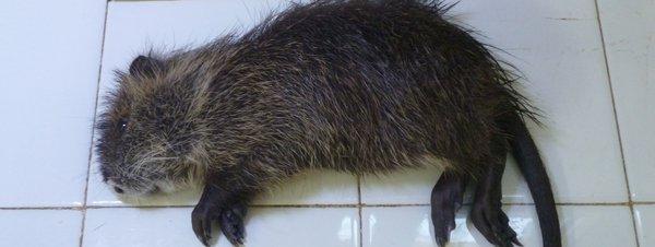 coipo una de las especies invasoras en España
