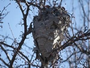 Los nidos de avispa velutina se expanden por toda la península