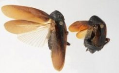 Una nueva especie de cucaracha resistente al invierno invade Nueva York