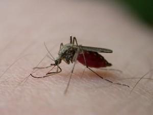 plagas de mosquitos se atraen y repelen con olores de compuestos