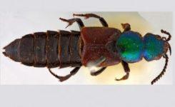 Aparece un escarabajo hallado por Darwin de hace 182 años