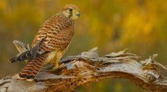 El ave cernícalo es una alternativa biológica contra la plaga de picudo rojo
