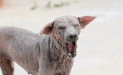 La procesionaria del pino es mortal para los perros