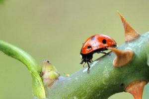 Control biológico para eliminar los pulgones del jardín