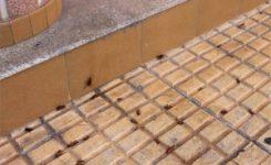 Nueva especie de cucaracha, periplaneta americana, copa las calles en Cáceres