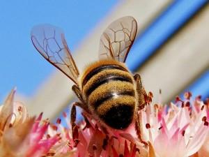 cómo la anafilaxia manifiesta sus síntomas por picaduras de abeja