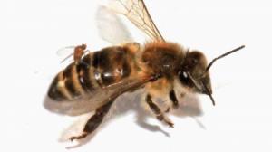 Mosca convierte a abeja en zombie