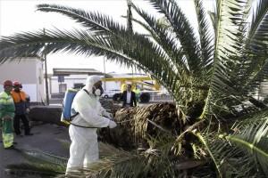 Técnico de control de plagas en Badajoz eliminando picudo de palmera