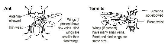 Diferencia entre hormiga alada y termitas en casa