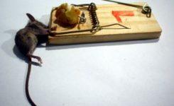 Cómo acabar con las ratas de casa