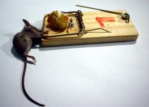 como acabar con las ratas con trampas y queso