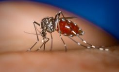 España registra el primer caso autóctono de chikungunya