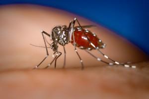 mosquito causante de chikungunya