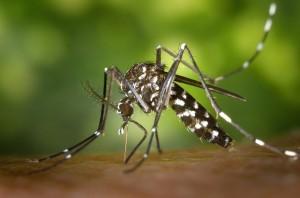 mosquito tigre causante del virus zika