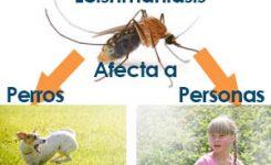 Leishmaniasis afecta a Perros y Humanos. ¿Cómo Prevenirla?