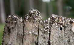¿Por qué hay hormigas voladoras después de lluvias de otoño?
