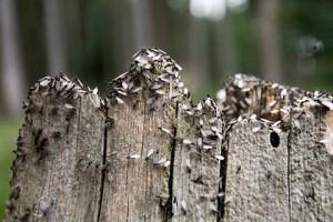 hormigas aladas en el tronco en otoño