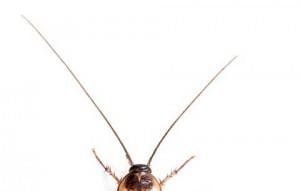 cucarachas-en-murcia