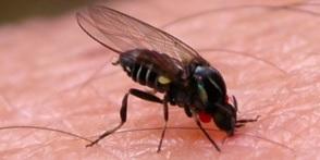 como es la mosca negra