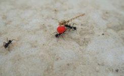 Cómo hacer desaparecer las hormigas que tengo en mi casa