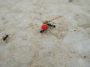 hormigas grandes en casa cargan comida