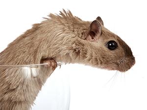 cómo acabar con las ratas en el hogar