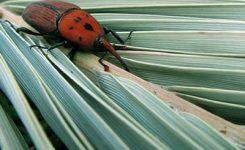 Llega el picudo rojo a Extremadura