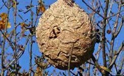 Detectan nido de avispa asiática a nivel de calle