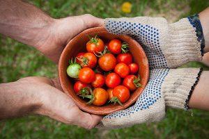 registro fertilizantes facilita el cultivo de tomates