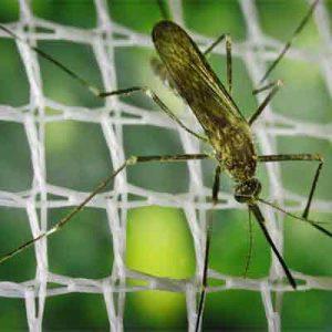 El mosquito aedes japonicus se establece en España